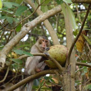 Singe et noix de coco